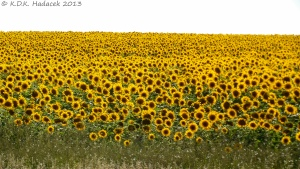 sunflower field, South Dakota