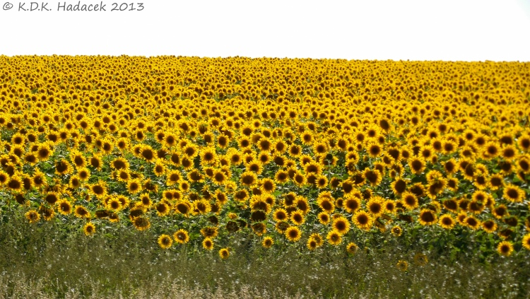 Sunflowers turn to follow the sun all day. They freely accept all that nourishes them.