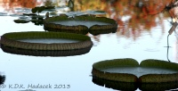 Victoria waterlilies 5 CW