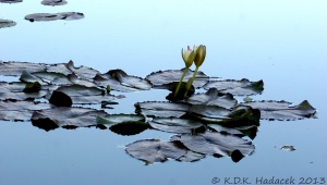 water lilies, white lilies