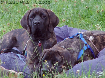 Our mastiffs, Tess and Tundra
