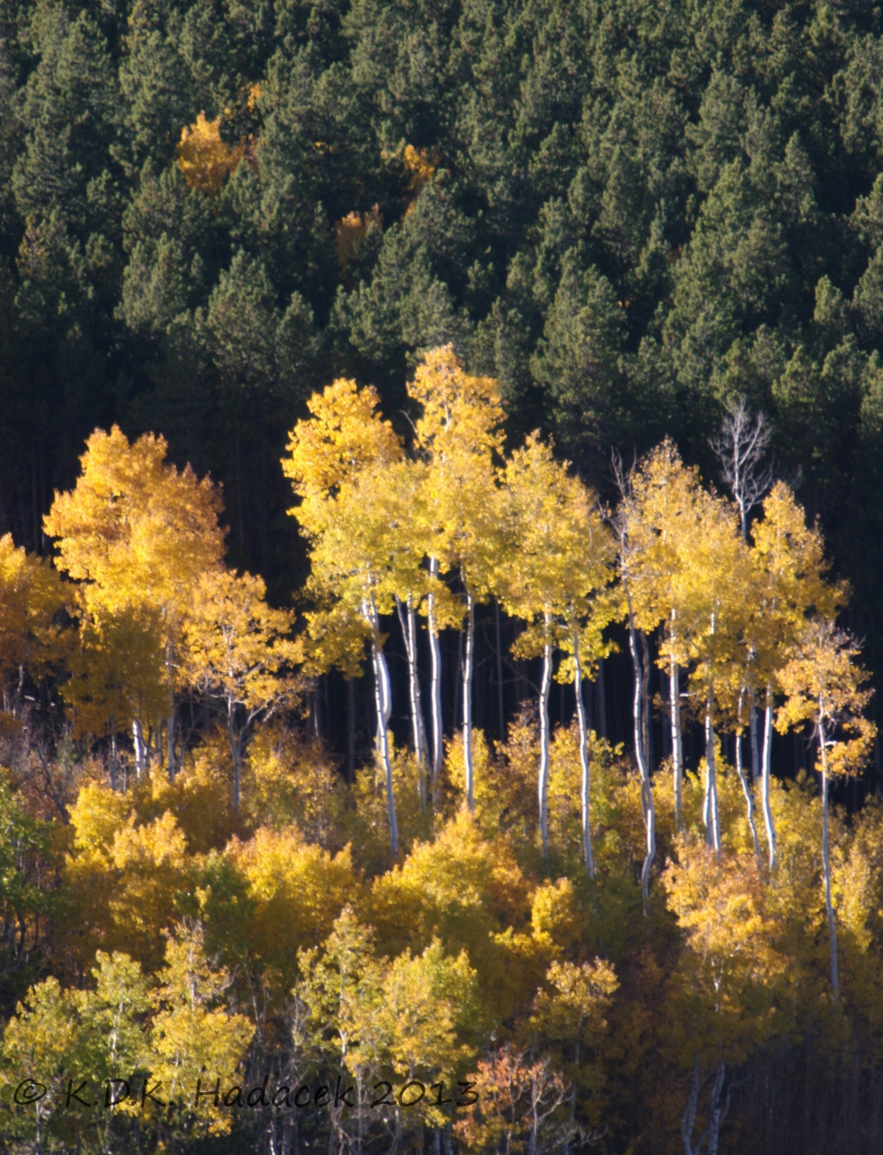 Colorado, golden aspens, Golden Gate State Park