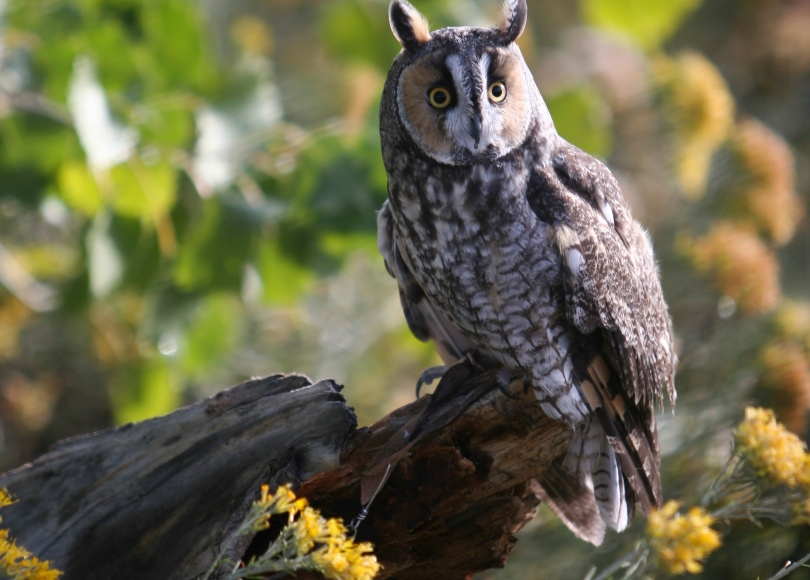 Long-earred owl