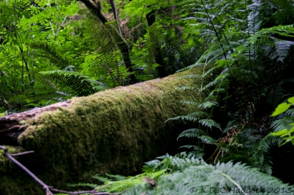 Felled tree. Redwood Forest, California