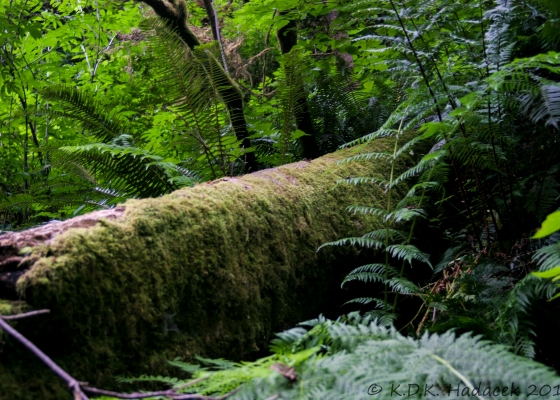 mossy redwood, tree, ferns, Redwood National Park, California