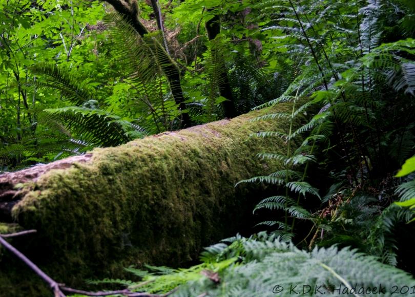 mossy redwood, tree, ferns, Redwood National Park, California