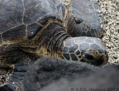 Sea turtle, Hawaii Island