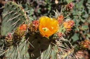 flowering cactus, orange cactus blossom