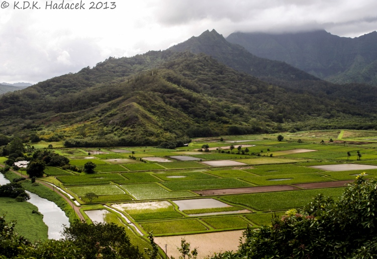 Taro fields CW