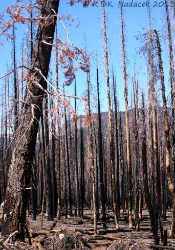 charred tree trunks following a forest fire