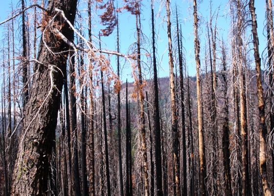 charred tree trunks, burned trees