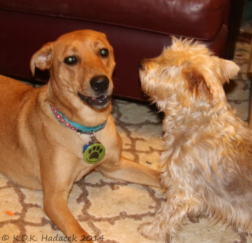 Aliana plays with Nutty, our Silky Terrier
