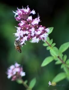 bee, oregano blossoms