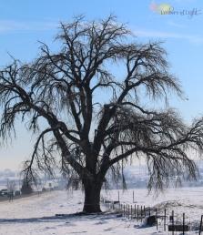 mature tree in snow