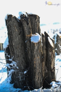 snowy tree stumps