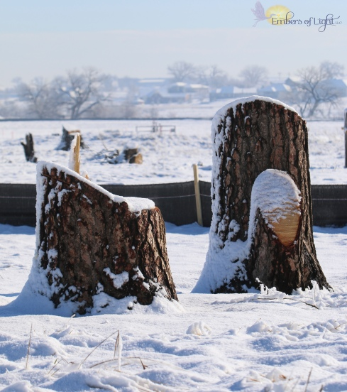 fresh tree stumps in snow