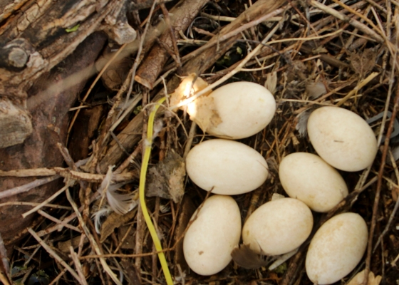 clutch of goose eggs, Barr Lake, Colorado