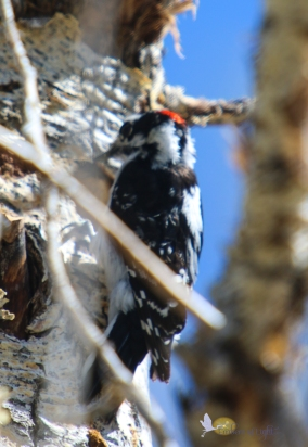 A downy woodpecker is making a nesting hole.