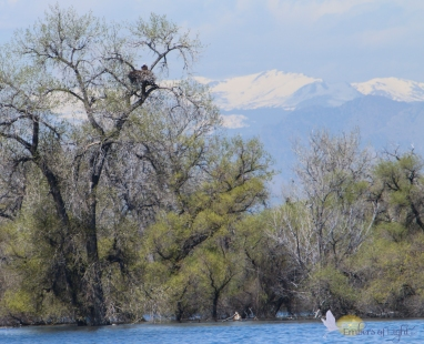 A bald eagle sits in its nest, with the Rocky Mountains in the background. Through the spotting scope, we could see two chicks, and the mate was nearby.
