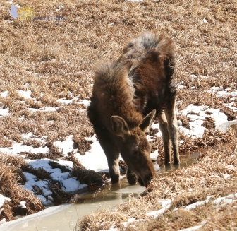 A young moose, near Red Feather Lakes, Colorado
