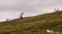 At first, I wondered about these odd shrubs as we rounded a bend and saw them on the hillside. Of course, then I realized they were really antlers!