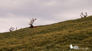 Elk antlers, Rocky Mountain National Park