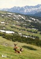 Elk rest on a mountainside.
