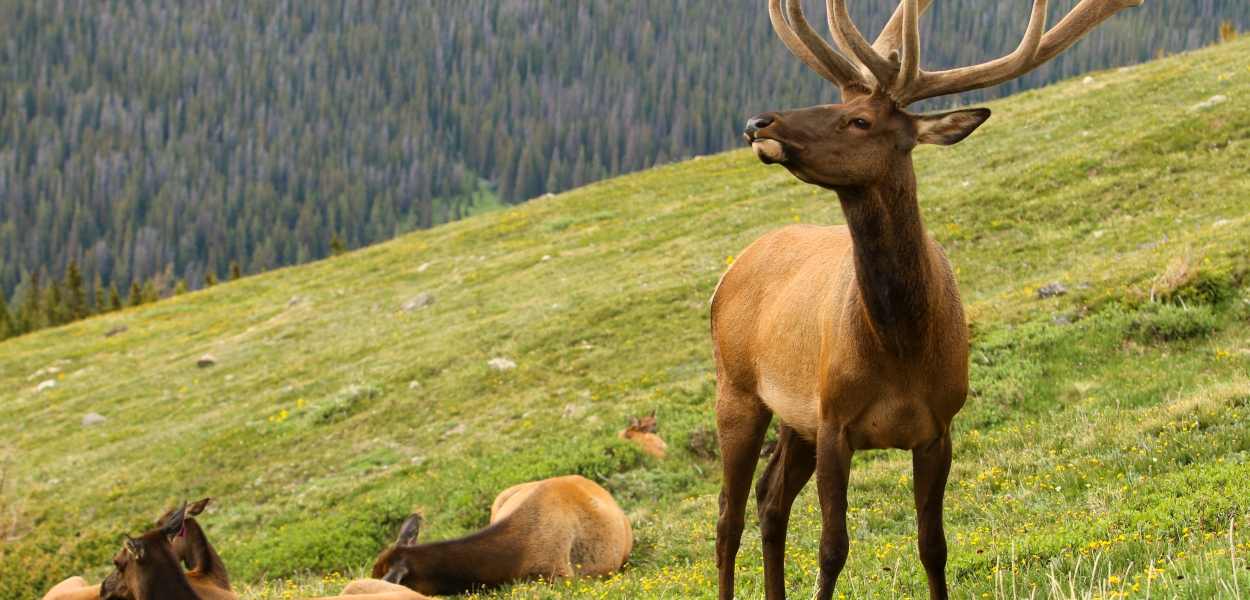 elk with harem, Rocky Mountain National Park