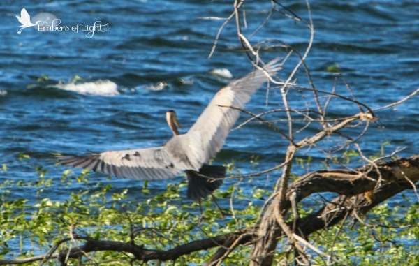 I come to Barr Lake because it is a known habitat for great blue herons and white pelicans!