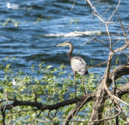 Once settled on the tree, this heron is no doubt checking out the fish in the shallow waters below.