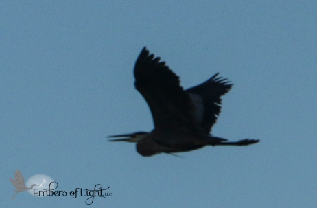 Great Blue heron in flight at dusk.