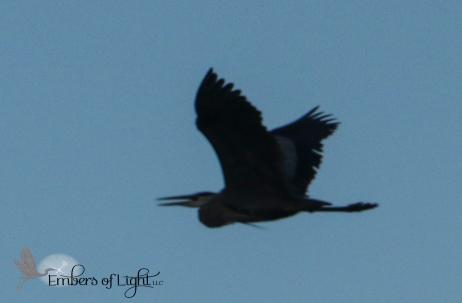 Great Blue heron in flight at dusk.