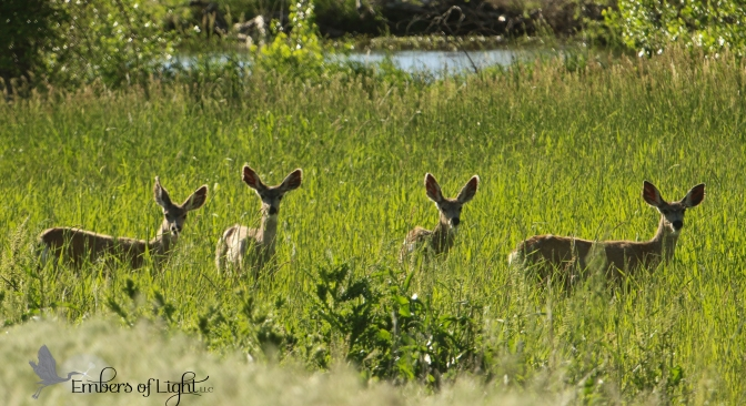 This group of muledeer knew they were safe and sound. They were totally unthreatened by our presence coming and going.