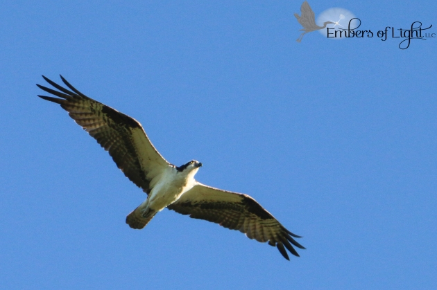 This osprey was beautiful. We saw its nest, with young chicks in it, too!