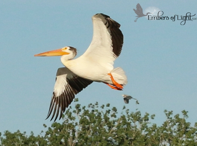 I love these beautiful pelicans. They glide silently overhead like blimps. I don't know what the smaller is that trails this beauty.