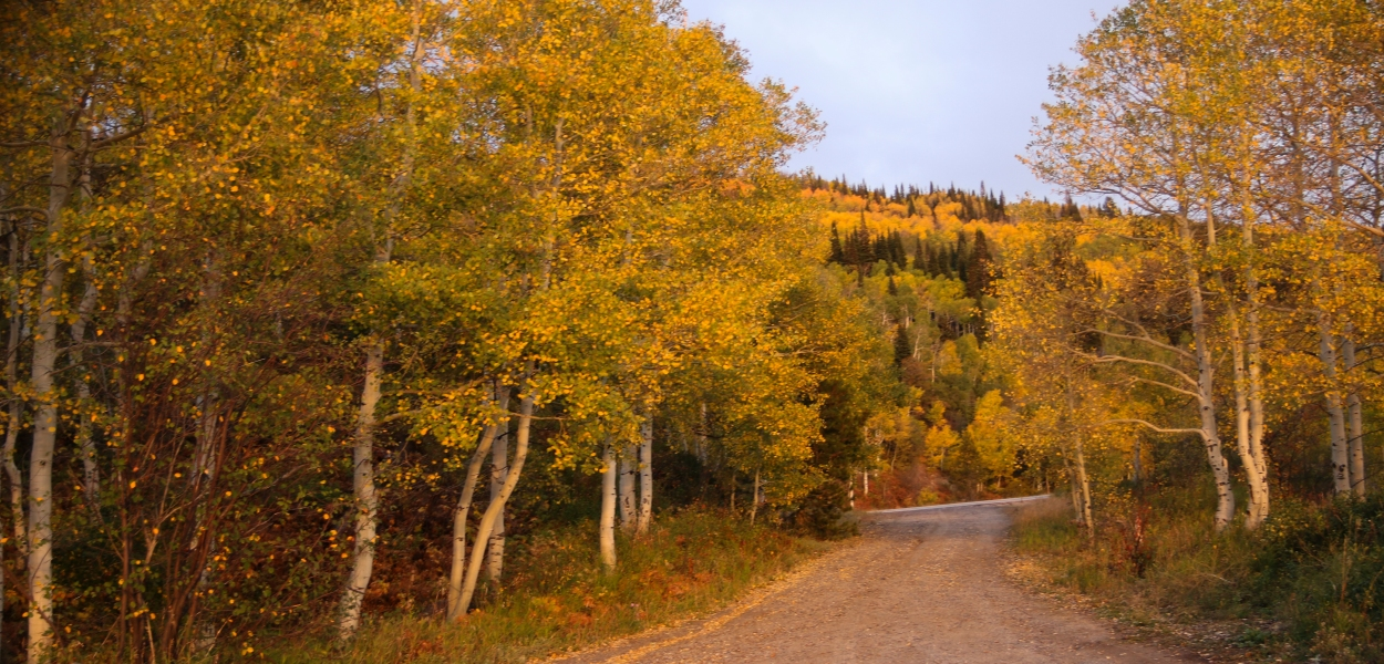gold aspen trees, Colorado, dirt road