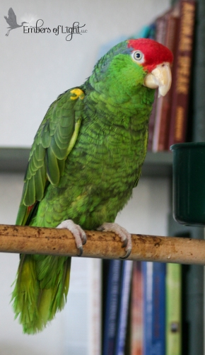 Hanna the Green-Cheeked Amazon was discarded by the breeder when she was hurt by other birds. We got her from an avian rescue.