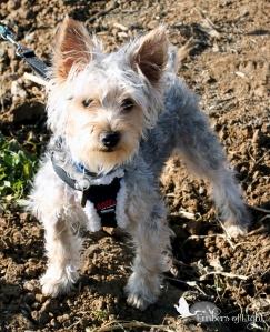Silky Terrier, dog, walking harness