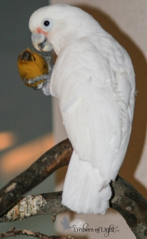 Sugar the Goffin's Cockatoo was adopted from an avian rescue.