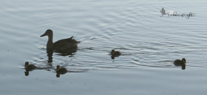 Will mom and ducklings have the same point of view?