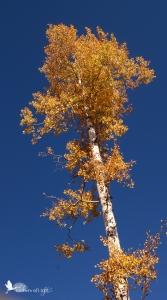 gold-leafed aspen