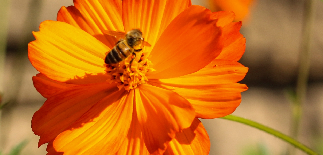 Orange flower, bee