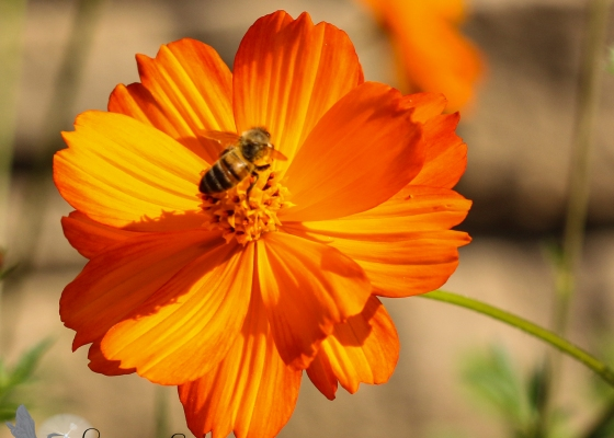 Orange flower, bee