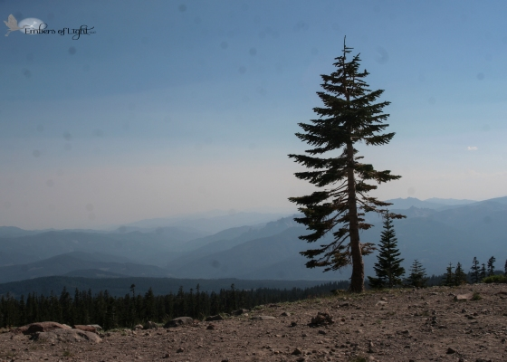 View from Mt. Shasta, pine, mountains