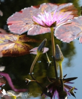 pink water lily, water lily buds