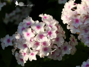 Clusters of white flowers with pink centers, flowers
