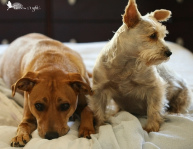 dogs, silky terrier,