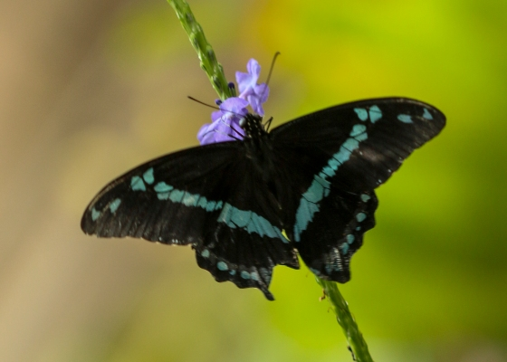 butterfly, purple flower
