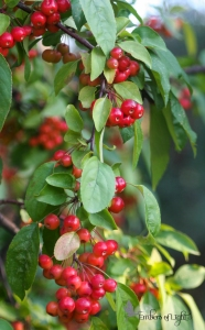 red berries on the vine, pyracantha berries