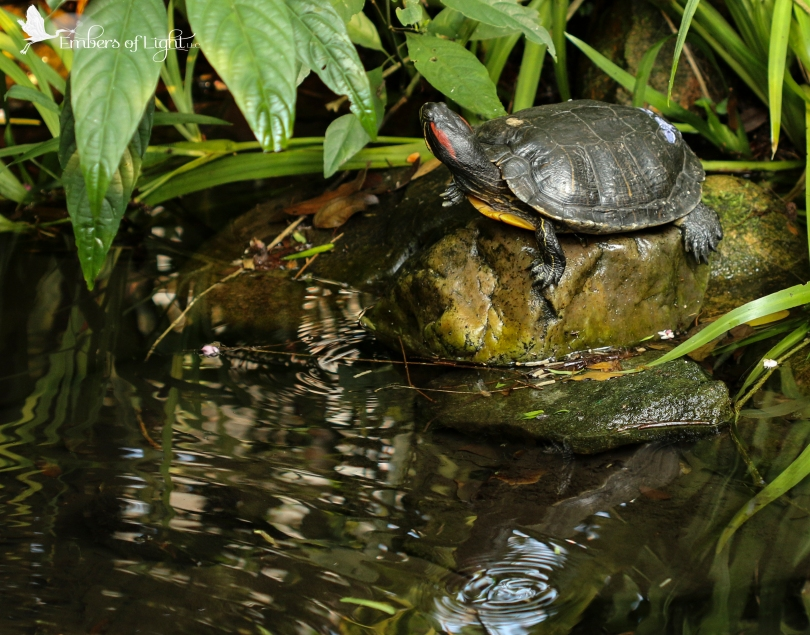 Turtle, pond ripples